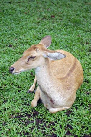 tame: Chital, deer, Thailand