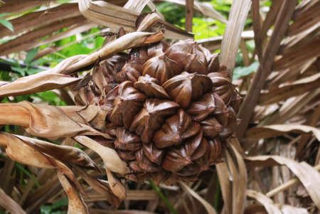 globular: A globular fruit cluster of the nipa palm,  is the only palm considered adapted to the mangrove biome.