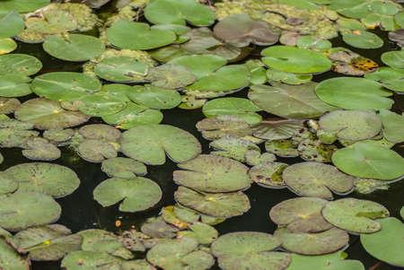 nymphaeaceae: Nymphaeaceae or water lilies