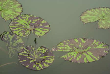 lotus effect: Lotus leaf, lotus effect