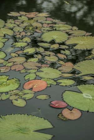 nymphaeaceae: Lotus leaf, Nymphaeaceae