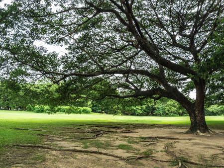 samanea saman: Albizia saman, Samanea saman, Rain tree