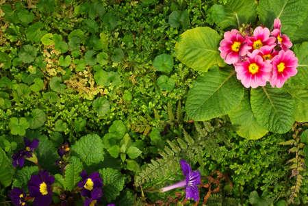 Primroses on Green grass at Doi Ang Khang, Fang District, Chiang Mai Province, Thailand. Stock Photo