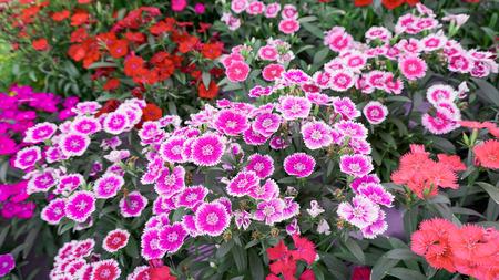 massif de fleurs: Dianthus blanc et rose chinensis parterre