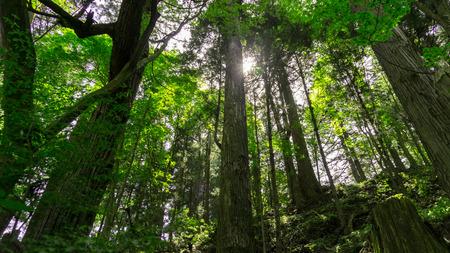 jungla: Los árboles forestales o de la selva y la luz del sol en Nikko Japón Foto de archivo
