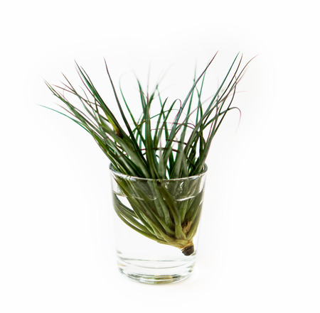 tillandsia: Tillandsia air plant on a water pot, on a isolated white background Stock Photo