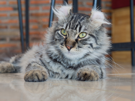american curl: American curl cat side face; central face focus Stock Photo