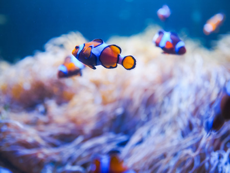 Ocellaris Clownfishes with coral background