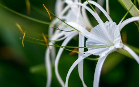 spider lily: Crinum Lily , Cape Lily, Spider Lily, Poison Bulb, White flower