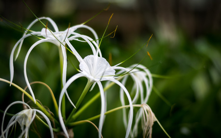 spider lily: Crinum Lily , Cape Lily, Spider Lily, Poison Bulb, White flower have insect perched on leaves.