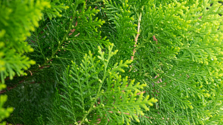 Green Thuja hedge texture close-up view (Selective focus)
