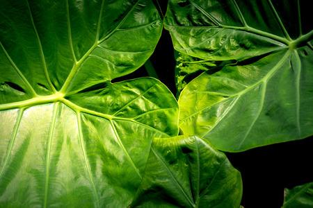 Cocoyam leaf green texture background. 写真素材 - 122949646