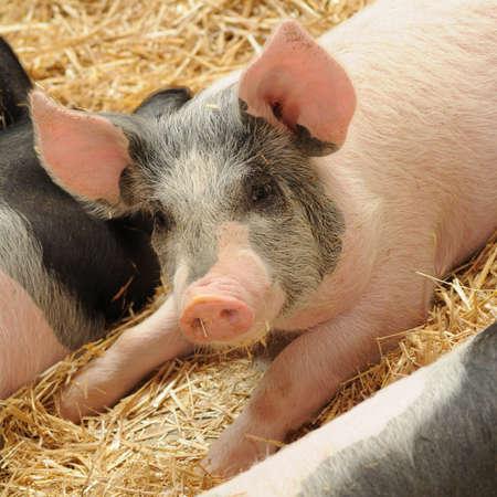 Pig on the Farm  photo