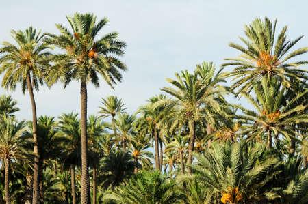 Date Palms, Elche, Spain Stock Photo - 15704520