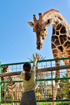 animal feed: Young Girl Feeding Giraffe at the Zoo Stock Photo