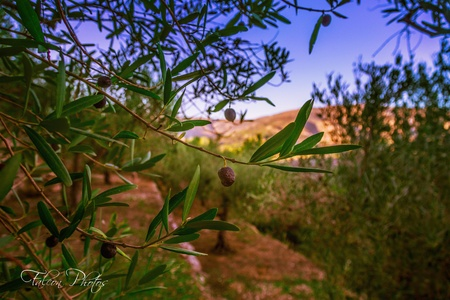 View through the olive trees Stock Photo