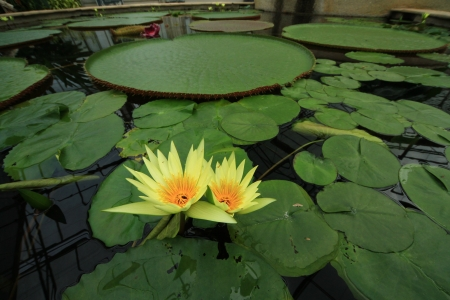 Yellow water lily in a pond Stock Photo
