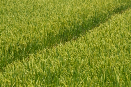 Landscape of rice field Stock Photo - 18176071