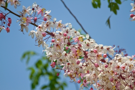 Wishing Tree, Pink Showe, Cassia Bakeriana Craib, Beneath a tree flowering pink resemble sakura. Thailand photo