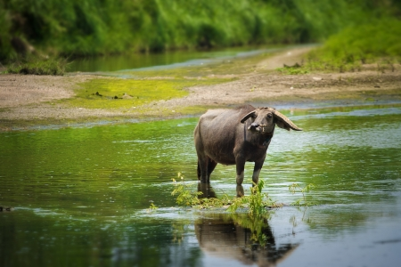 water buffalo in streams photo