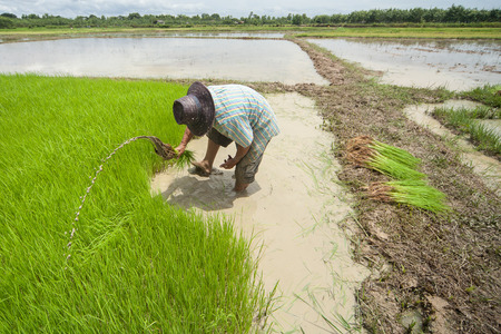 Farmer to withdraw which had plenty of rice seedlings in paddy fields photo