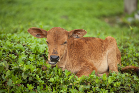 young calf relaxing on green pasture Stock Photo