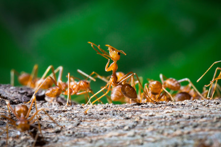 mandibles: Close up of red weaver ant with wide open mandibles and ready to attack Stock Photo