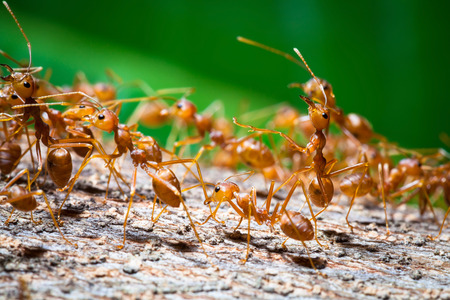 entomology: Close up of red weaver ant with wide open mandibles and ready to attack Stock Photo