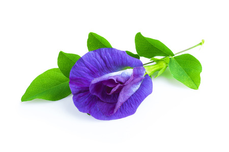 pea shrub: Pea flower or anchan flowers on white background