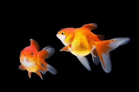 goldfish isolated: goldfish isolated on black background