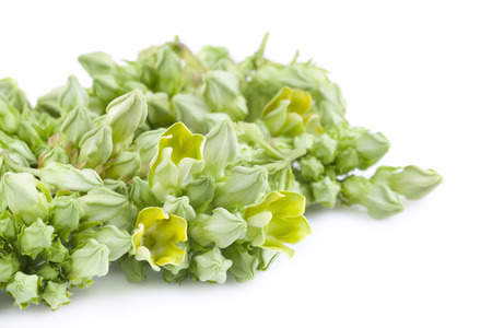 cowslip: Cowslip Creeper on white background