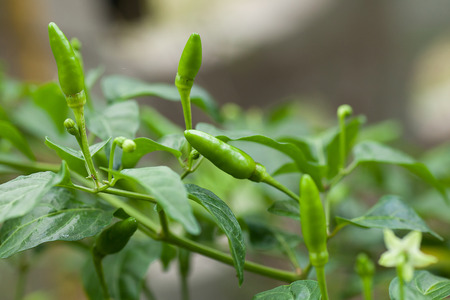 thai chili pepper: thai chili pepper plant Stock Photo