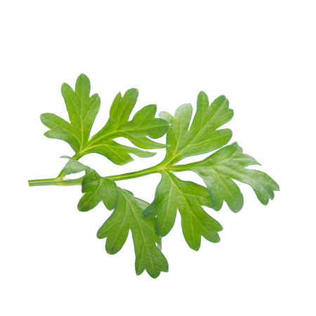 culantro: Manojo de cilantro aislados en blanco