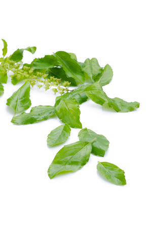 tulsi: Holy basil or tulsi leaves isolated over white background