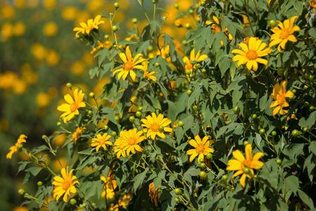 tree marigold: Tree marigold Stock Photo
