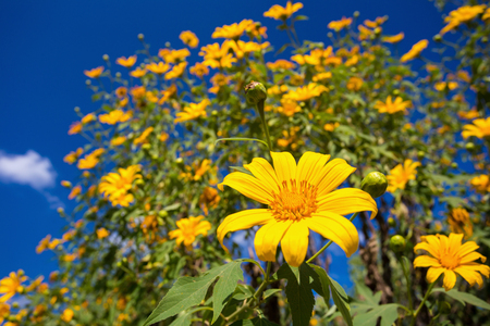 diversified: Tree marigold and blue sky Stock Photo