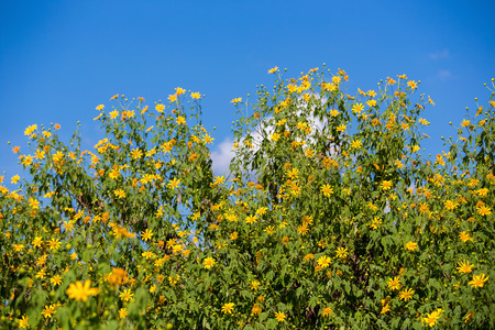 tree marigold: Tree marigold and blue sky Stock Photo