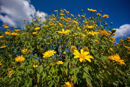 tree marigold: Tree marigold and blue sky Stock Photo