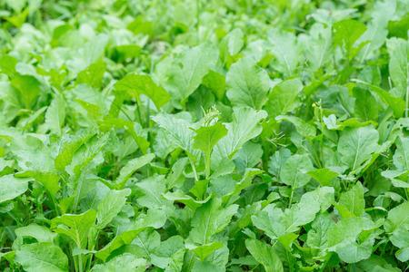 agrarian: field of green lettuce