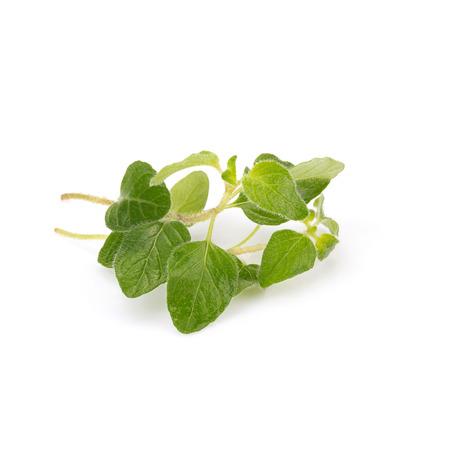 potherb: fresh Oregano herb on white background.