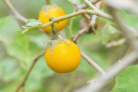 solanaceae: Close up yellow eggplants in garden