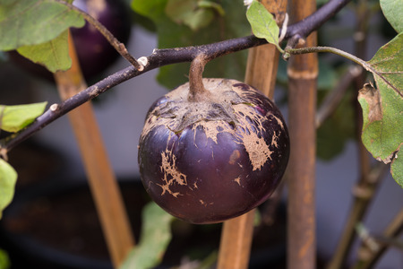 egg plant: egg plant growing in the garden.