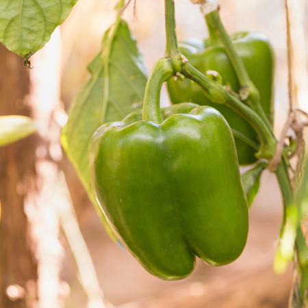 bell curve: Green bell pepper growing on a plant.