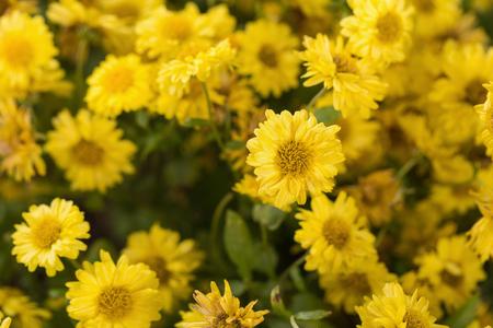 economic botany: yellow blooming flowers bush.