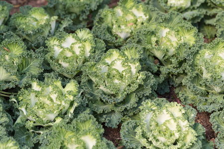 ornamental horticulture: Decorative cabbage or kale, decorative cabbage.