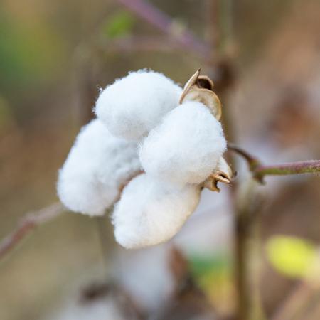 bolls: Close-up of Ripe cotton bolls on branch.