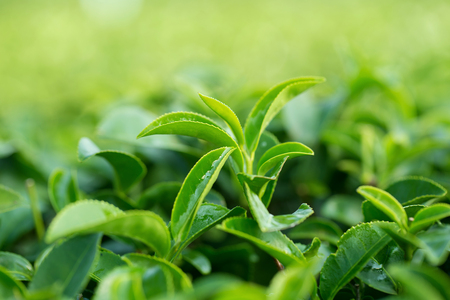 tea estates: closeup fresh green tea leaves. Stock Photo