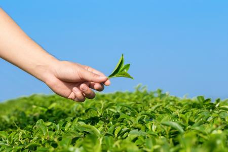 stow: pick tea leaves. Stock Photo