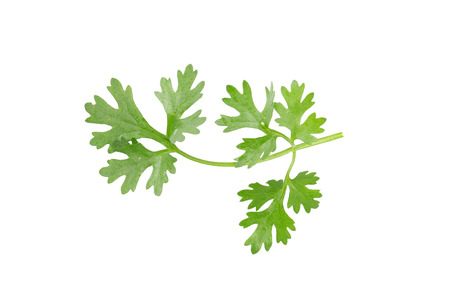 curly leafed: Green coriander leaves close-up on white. Stock Photo