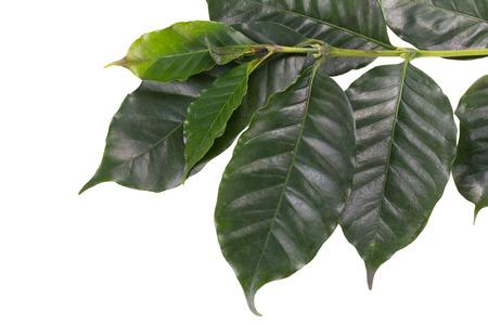 arbol de cafe: Hojas del �rbol de caf� sobre fondo blanco.